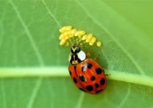 ladybird_beetle